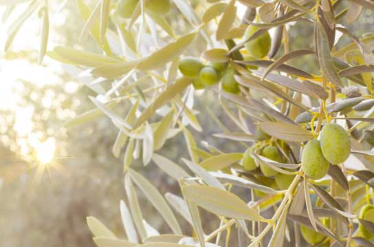 trattamenti-olivo-vendita-online-puglia